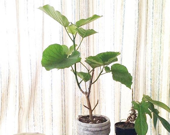 フィカス・ウンベラータはインテリアショップなどにもよく置かれている観葉植物で、大きな葉とスタイルの良い幹が魅力的な品種です。  強健なため育てやすく、初心者の方にもおすすめな観葉植物です。フィカス属(ゴムの木の仲間)に分類されているため樹液には注意が必要です。  耐陰性もあるため明るいリビングならば置くことが出来ます。