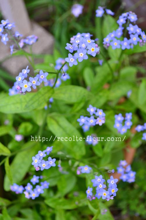 ワスレナグサは、ムラサキ科の一年草。こぼれ種でどんどん増える強い植物です。開花期間は、4月~6月くらい。花がらをまめに摘んだり、少し剪定したりすると、開花期間は長くなりますが、東京だと梅雨のころにいなくなる一年草です。過湿が嫌いなので、乾かし気味の方がよく育ちます。