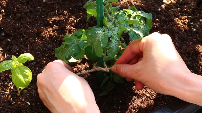 ミニトマトが強風で茎が折れたり倒れたりしないように麻ひもで誘引します。苗を痛めないように、支柱のところで結びましょう。あまりきつく縛ることのないように八の字にして緩めに括り付けます。