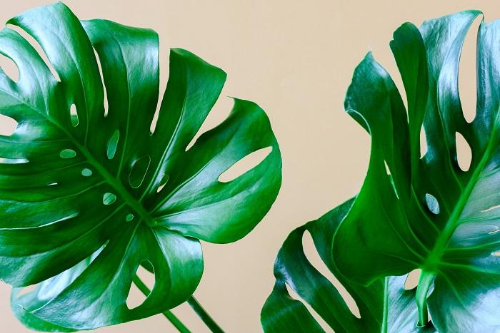 熱帯アメリカに生息するサトイモ科の植物モンステラ。観葉植物としても人気のあるモンステラは、耐陰性もあるので明るい室内でも育ちます。