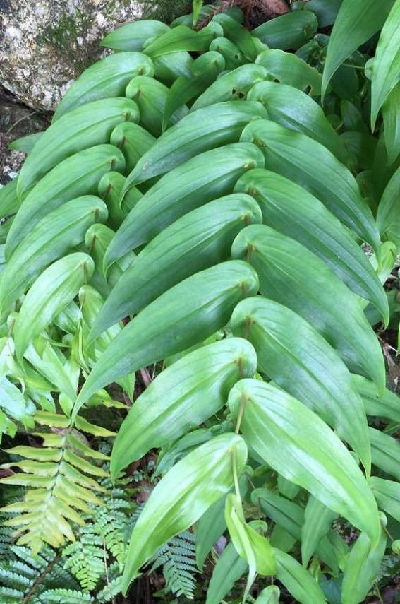 キバナノツキヌキホトトギスは規則的な葉の付き方が非常に美しいです。牧野富太郎先生の本「花はなぜ匂うか」の表紙に植物画が想定されていますが、それが牧野富太郎先生が描いたキバナノツキヌキホトトギスです。