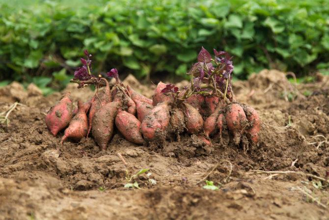 サツマイモ 収穫 時期