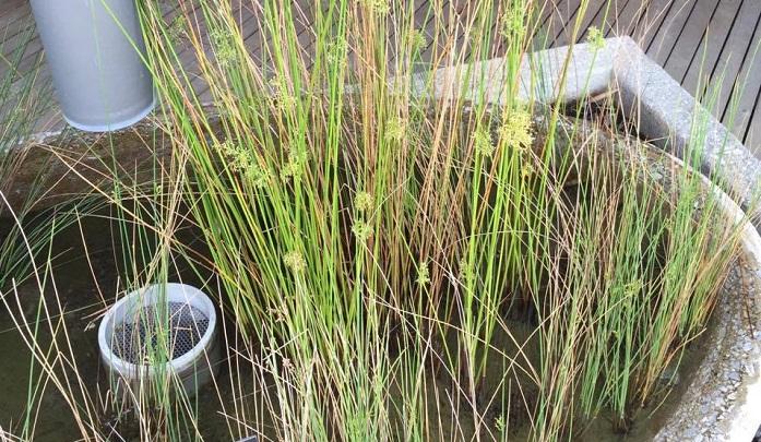 水生植物の鉢と雨どいを連動させています。