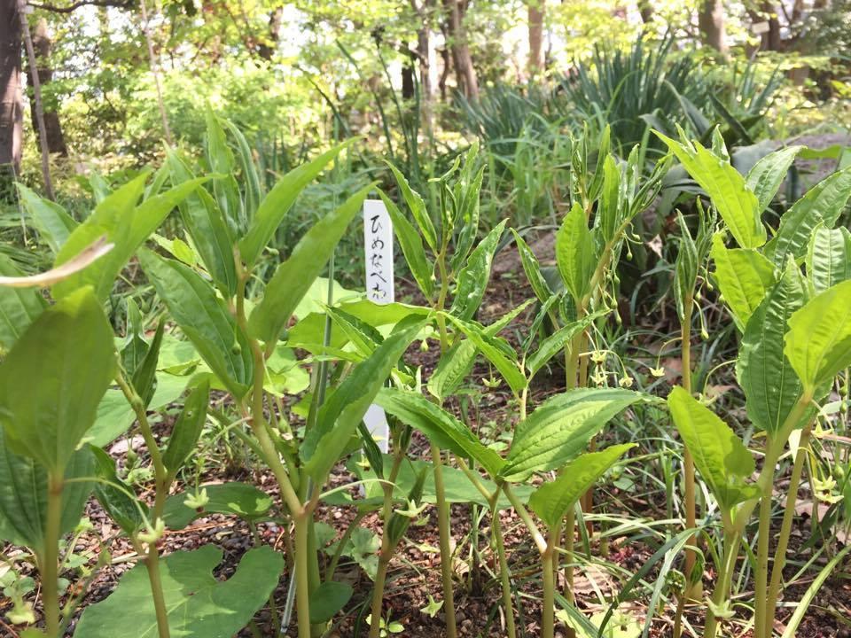 高山植物ナベワリの近縁種。毒があって舐めると舌が割れることから。「舐め割」がなまってナベワリになったとか。