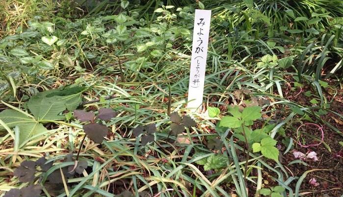 ミョウガの芽がひょろっと出ています。ミョウガはショウガ科なんですよね。