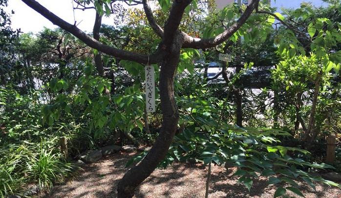 センダイヤ(サクラ)の根から伸びてきたもの。右隣はタラノキ(タラの芽が取れます)