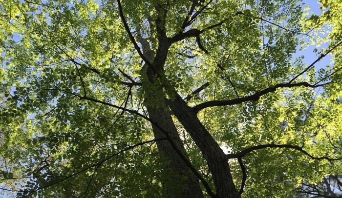 13mあるヘラノキ。見上げると大きな枝ぶりが守ってくれているような感じがします。