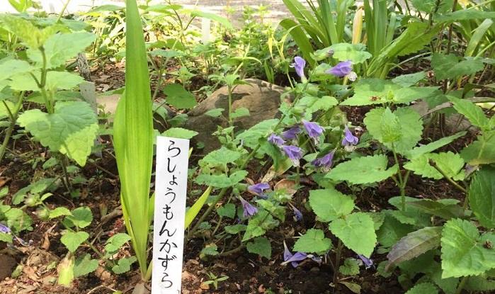 昔、京都にあった羅生門でもがれた(!)腕に似てるからラショウモンカズラ。もがれた腕とは・・・!