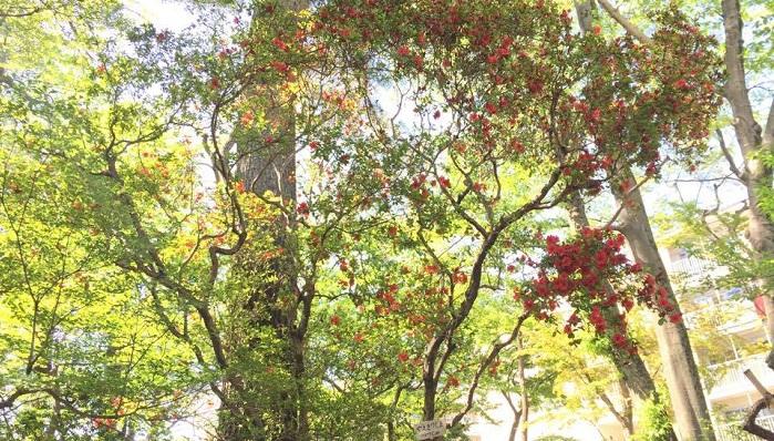 つつじも綺麗に咲いてきました。霧島つつじは樹高が高く、見上げるよう。