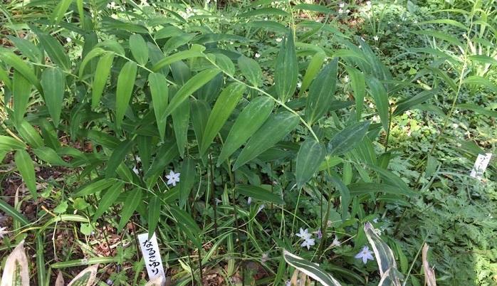 山野草のナルコユリは東京にはあまりありません。花がとてもかわいいので咲いている時期に見てみたいです。