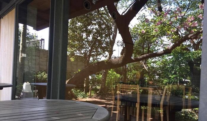 ガラスに映ったフクロクジュという名前のサクラ。幹の張り出しが雄々しくて素敵。