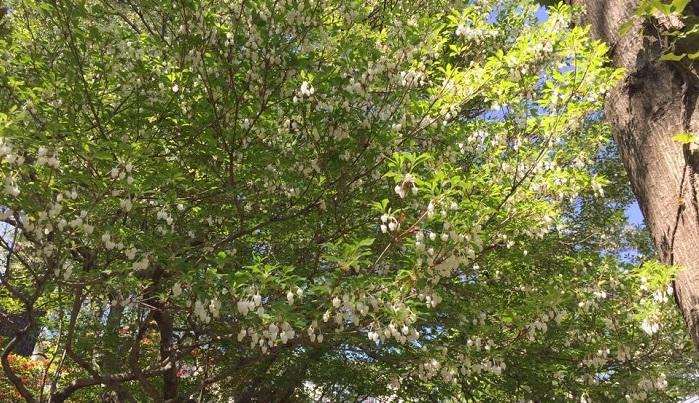 自然樹形、野木仕立てのドウダンツツジ。鈴蘭のようなつぼ型の白い花がとてもかわいい。生垣にはない自由さがあります。