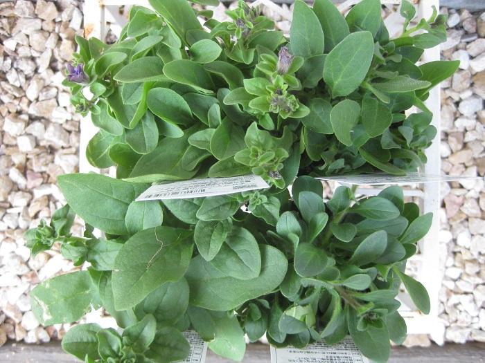 サフィニアの苗の配置を決めます。