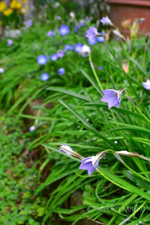 ハナニラは光に反応する性質なので、夜や曇り、雨の日は花を閉じます。