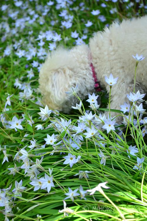 犬に踏まれても、翌日は元通り。本当に強い花です。