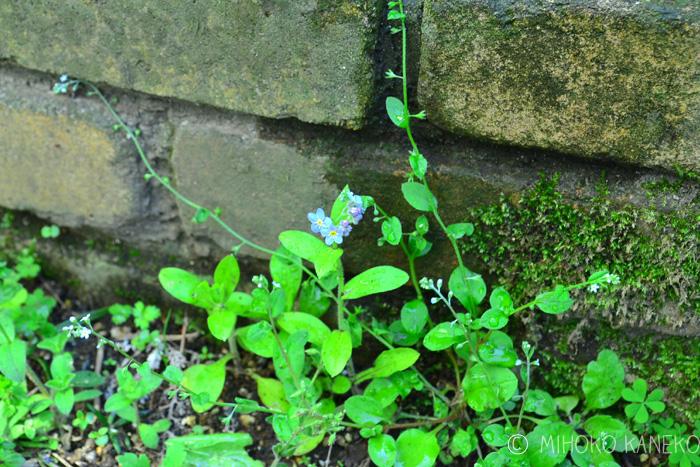 ワスレナグサも小さな花ですが、それよりもさらに小さな水色の花。花のサイズは1ミリほど。米粒よりも小さな花です。このキュウリグサは、ある年から急に通路の土の上で開花して、それからどんどん増えています。
