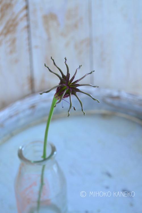 花の後、白い萼片が落ちた後は、ユニークな姿に変身するニゲラ。