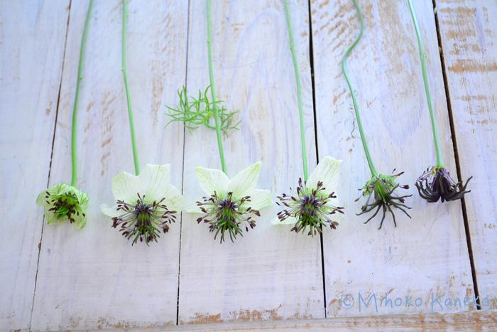 ニゲラは、日毎に変わる表情がおもしろい花です。