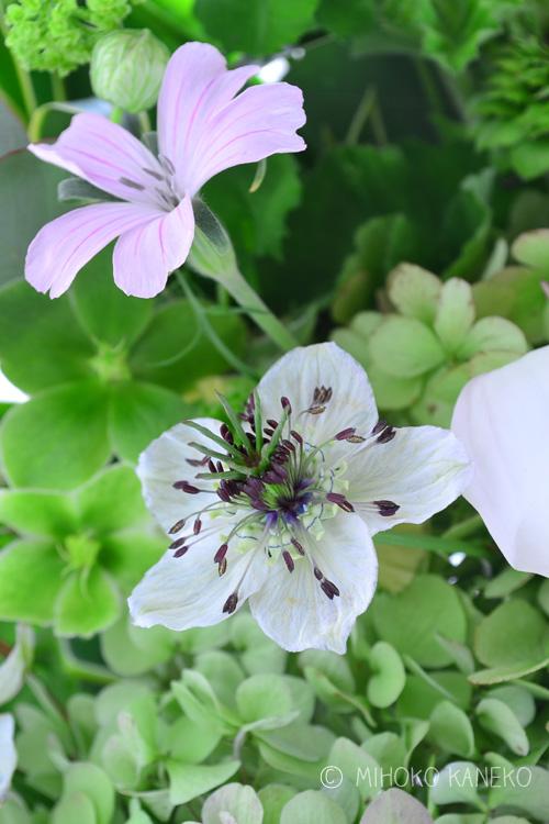 なぜこんな名前が付いたかというと、花の後につく種の色がゴマのように真っ黒なことからついたようです。また、ニゲラという名はラテン語の「Niger ・黒い」からきています。ニゲラの品種はたくさんありますが、園芸や切り花で多く見かけるのは<strong>「ペルシャンジュエル」</strong>という品種で、ブルー、白、ピンク色のニゲラです。