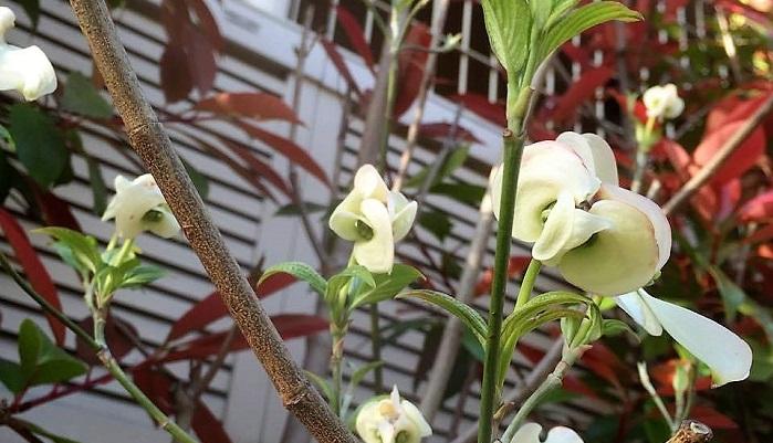 咲く少し前の花は横から見るとフクロウの顔に似ていて愛嬌があります。