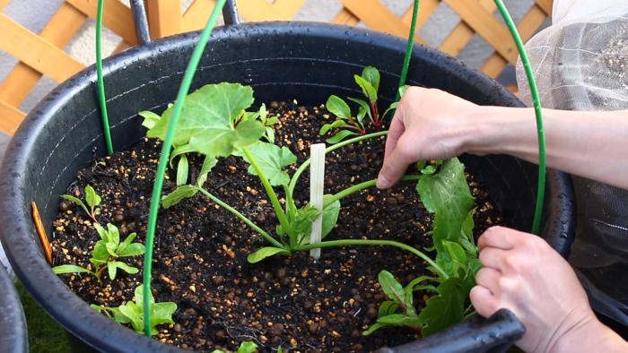 4 箸か小さめの支柱を立てて苗を安定させます。  誘引はまだできないほどの大きさですが、このように割りばしなどで軽く支えましょう。