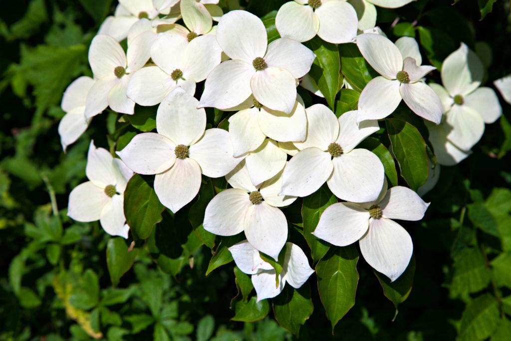 ヤマボウシの画像 p1_35