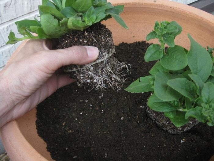 サフィニアをポットから取り出し、根を少しくずして植えていきます。
