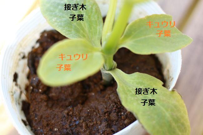 こちらのキュウリの苗に、子葉が二つあることを皆さんは気づきましたか?  これは接ぎ木苗といって、連作や病害虫に強い台木の上に美味しい品種の穂木を接いで作るひと手間かけた苗なのです。少し値段は高めですが、通常の苗よりも丈夫に育つので初心者の方にも安心して育てられます。