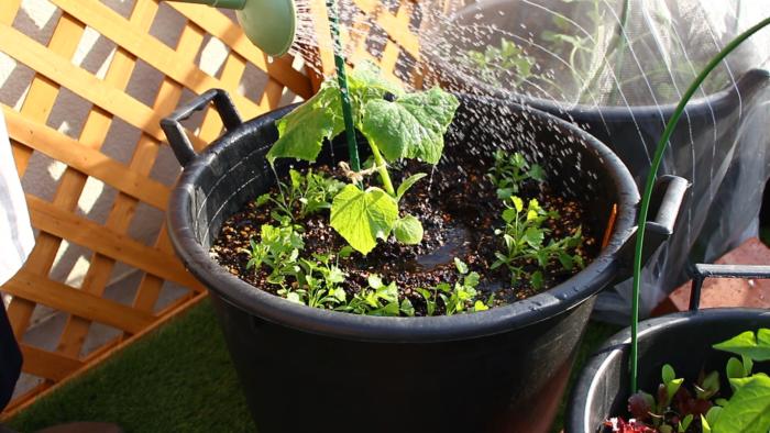 植えたばかりの苗は土に活着するまでに少し時間がかかります。その際根が乾燥してしまわないためにも、植え付けから1週間位はしっかりと水を与えます。お水の代わりに病害虫予防のためにニームを希釈したものをかけてもいいでしょう。