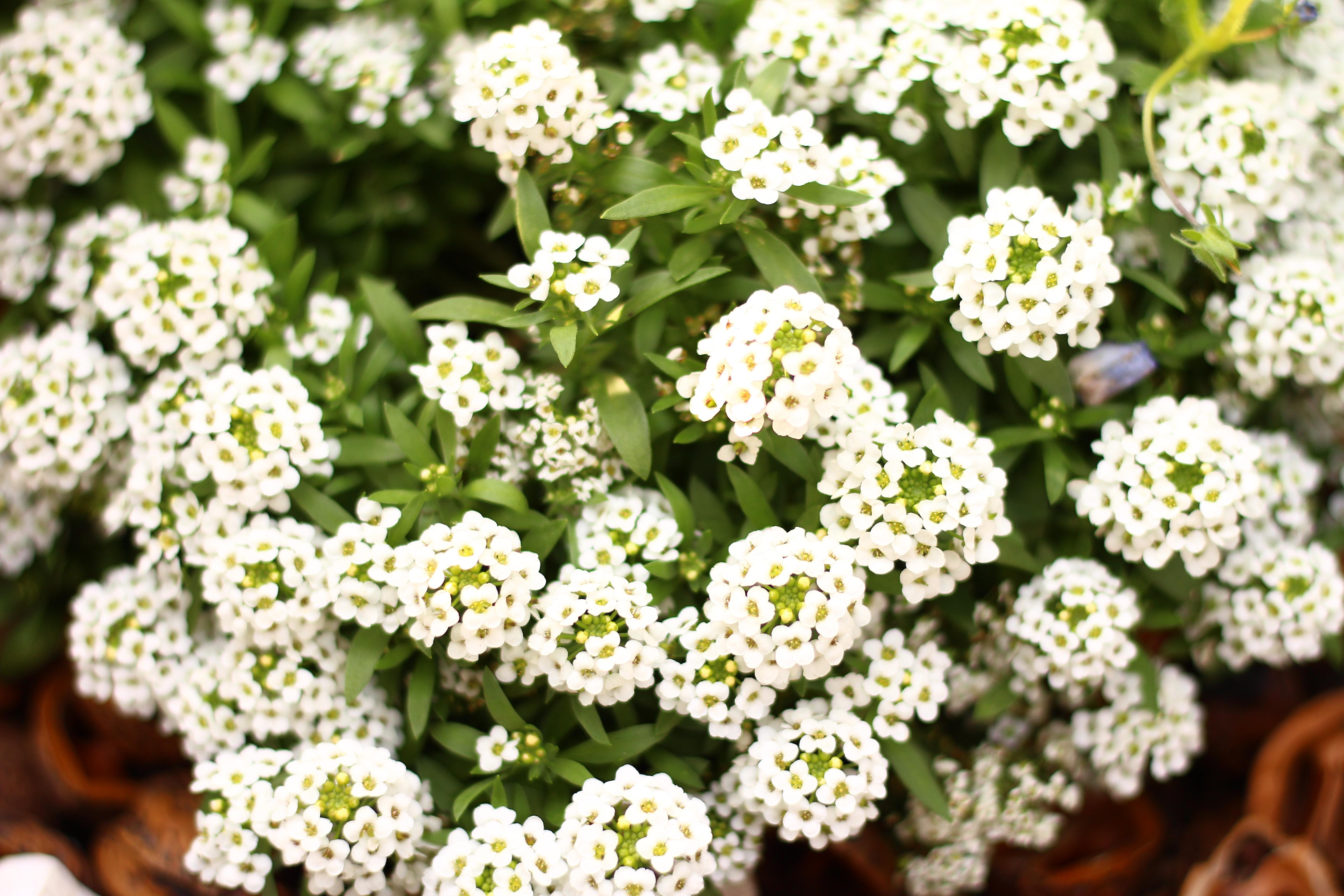 スイートアリッサムは、秋ごろに植え、冬の間でも花が咲くので初心者に向いている植物です。花色は白の他にピンクや紫もあり、カーペット状に広がって咲きます。ハンギングなどにも向いています。  スイートアリッサムは、耐寒性はある程度はありますが、霜に当たるとその部分が枯れてしまいますので、霜よけをすることをおすすめします。花を咲かせながら茎を伸ばすので、花が散って茎が伸びてきたら花がらを摘みましょう。高温多湿には弱く、夏には枯れてしまうことが多いです。