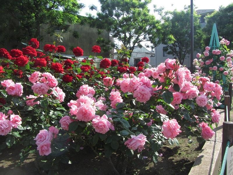 都電荒川線沿線の花壇のバラの管理には、「荒川バラの会」というボランティアの方々が関わっているそうです。ボランティアは会員募集中ですので、興味がある方は参加してみてはいかがでしょうか?