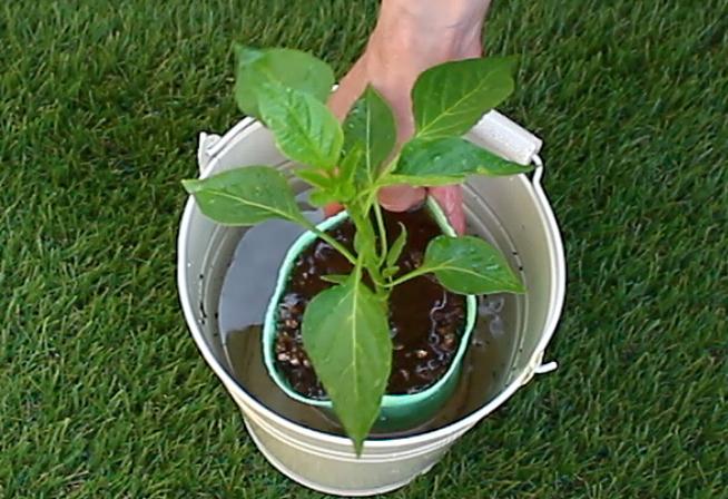1 苗に充分な水分を与える。  バケツに水を入れ、そこにパプリカの苗を入れ水に浸し、十分に水分を吸わせたら取り出します。
