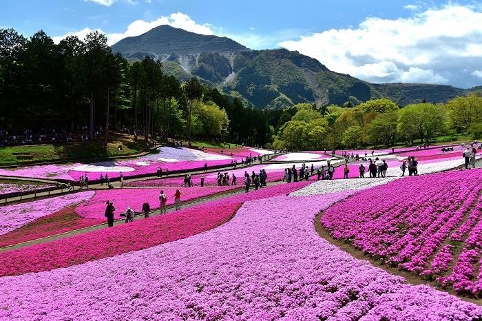 春色重なる花空間、とことこ歩く散歩道。  甘い香りの春風にそっとふかれて……  秩父市街地を一望できる羊山公園に秩父の新名所「芝桜の丘」があります。
