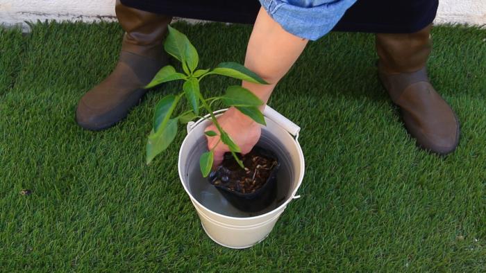 1. 苗に充分水分を与える。  バケツに水を用意して苗にしっかり水を吸収させましょう。