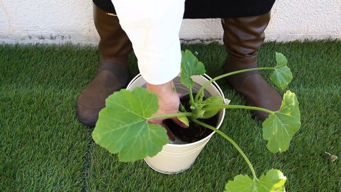 1 苗に充分水分を与える。  植え付ける前のひと手間です。植え付けてしまった後に気づいた方は、最後に水をしっかり与えてください。