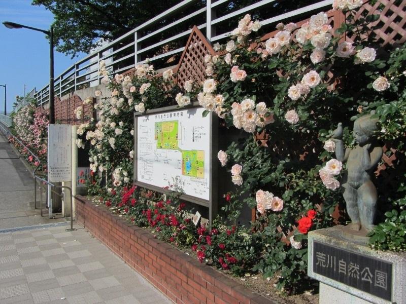 路面電車に乗って車窓からの風景を楽しむも良し、沿線をお散歩するのも良し。ゆったりとバラの花を楽しめそうですね。