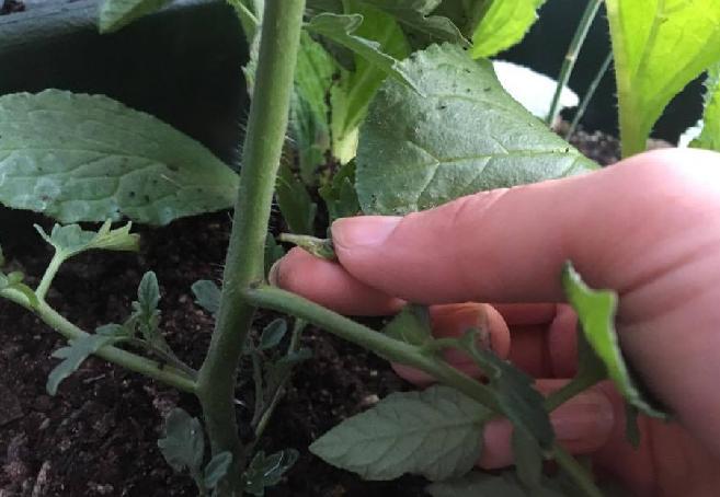 トマトの芽かきは、株に傷をつけるので病原菌が入りやすくなります。  ・指でかきとるか、消毒したハサミを使用する。  ・わき芽をとった後の切り口が乾きやすいように、出来るだけ晴天の日に行う。  以上のことに注意して管理しましょう。