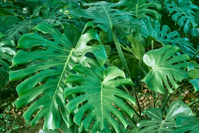 その1.日当たりや置き場のこと モンステラの生息する地域を知ろう  モンステラは、熱帯アメリカに生息するつる性(または半つる性)の植物です。葉は成長するにつれ、縁から切れ込みが入ったり穴があき、独特な面白い姿になることが特徴的。モンステラの原産地は熱帯雨林(ジャングル)なので、半日陰を好み、直射日光を嫌います。そのため、比較的薄暗い環境でも耐えてくれます。なので直射日光に当てると葉が焼けてしまいます。その植物の自生地を知ることで、置き場所や温度など考えるとベストだと思います。
