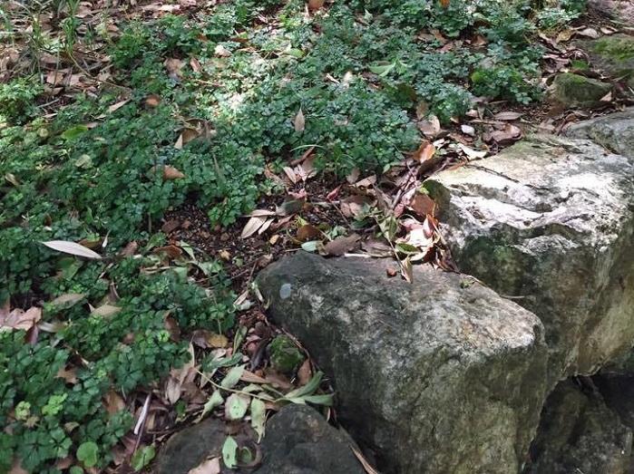 牧野先生が大好きだったバイカオウレン。葉っぱの形が植物園のシンボルマークになっています。