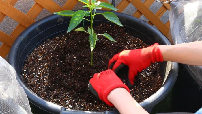 3. 苗の周りを少し凹まして、苗にしっかり水が浸透するように植え付けてあげましょう。  こうすることでこの部分に水が集まり、植え付けたピーマンの苗に水が浸透しやすくなります。