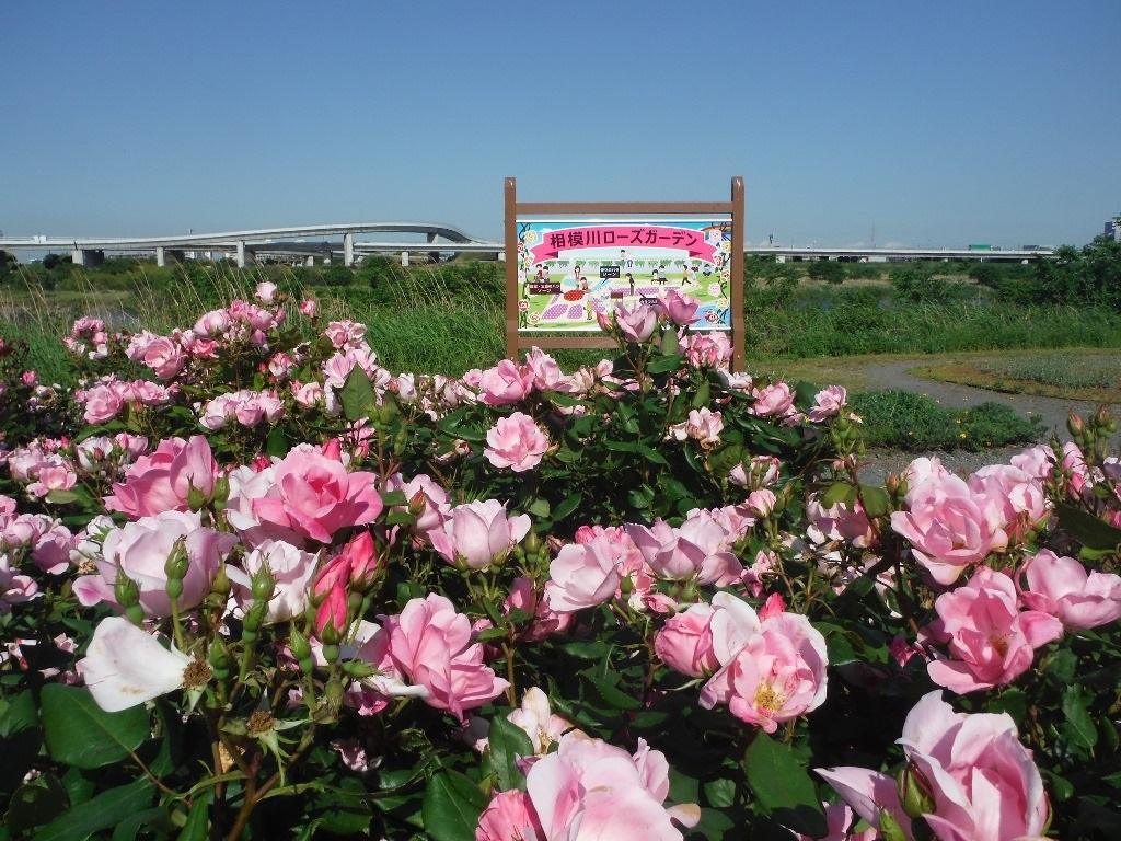 相模川ローズガーデンは、約3,000平方メートルの敷地と川沿いの斜面約370メートルに55種約1,300本のバラが植えられたバラ園です。