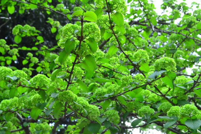 初夏にアジサイによく似たボール状の花を咲かせるオオデマリは落葉低木。  咲き始めはライムグリーンで徐々に白に変化します。また、オオデマリは秋の紅葉も美しい花木です。オオデマリは自然樹形で育てることができ、ほとんど剪定しなくても姿が整うのでガーデニング初心者にもおすすめの庭木です。