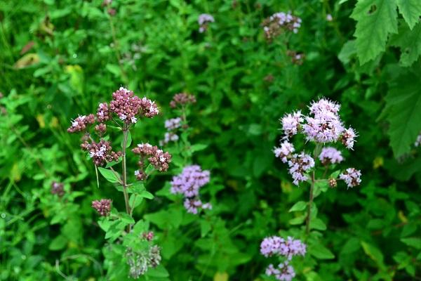 スパイスなどにもよく使われるオレガノはシソ科の多年草のハーブ。7月~8月にピンクの花が開花します。オレガノは、つぼみの色は左の写真のようなえんじ色のような色をしていますが、開花すると淡いピンクになります。花は切り花やドライフラワーにもなります。草丈30~60cm以上になるので、花壇などの地植え向きのハーブです。  この他にも最近「花オレガノ」という名前で、園芸用に作られたオレガノが多数流通しています。(代表的なものとしては、オレガノ・ケントビューティー)