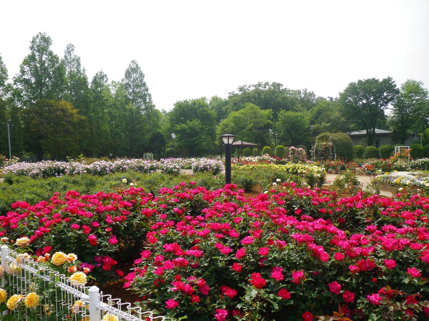 バラ園だけでなく、さまざまなレクリエーション施設や大砂場・水辺の広場などファミリーで楽しめる要素が多いのが伊奈町制施行記念公園のうれしいところ。またあじさい園やキャンプ場もあるので、バラの季節以外にも訪れたいですね。