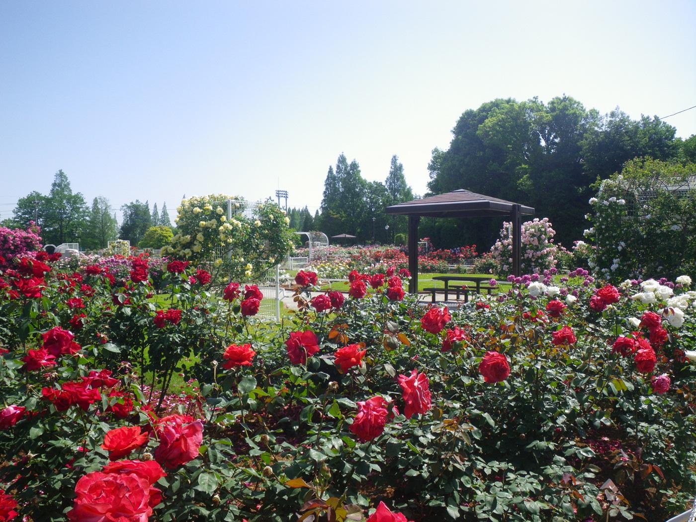 埼玉県伊奈町にある伊奈町制施行記念公園は、野球場・テニスコート・キャンプ場などを備えた大規模公園です。その園内にあるバラ園には、約1.2ヘクタールの敷地に300種4,800株を超えるバラが植えられているというから驚きの数ですね。アーチやフェンスなどを利用して立体的に造成されたバラ園は、ボリューム感たっぷりです!
