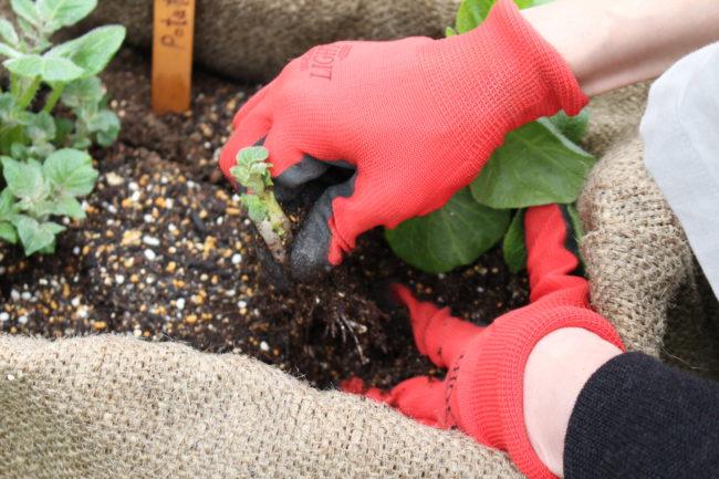 芽かき(取り除く芽)の対象となる茎の下の方をしっかりとつまみます。取り除く際に他の芽も抜けてしまわないように種イモをしっかり反対の手で押さえます。