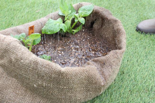 ジャガイモの根が育ってきたので、雨が当たらない場所で栽培している場合は適度な水やりを心がけましょう。比較的乾燥気味の環境を好むため、土が乾いたら与えてあげましょう。