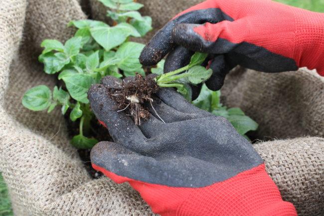種イモから抜き取るようなイメージで取り除く芽を回しながら抜き取ります。この時急いで無理に抜き取ると種イモや他の茎にダメージを与えてしまいます。焦らずじっくり芽かきをしましょう。