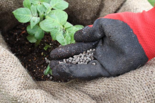 種イモの栄養分で生長した芽や茎からそろそろ根が出て、自分自身の力で栄養を得ることが出来ます。芽かきと土寄せのタイミングで追肥もしてあげましょう。