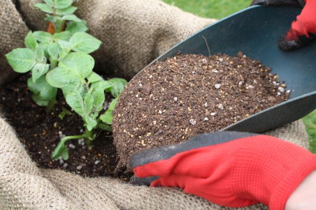 先ほどジャガイモは地下茎が肥大したものということをお話ししましたが、ジャガイモが光に当たると緑色になることが「ジャガイモ=地下茎」という証拠となります。ちなみに、サツマイモは根が肥大したものですので土から出てしまっても緑色にはなりません。  ジャガイモが緑色になるとソラニンといって毒性の物質になってしまいます。そこでジャガイモを緑色にさせないために土寄せをしてあげる必要があります。麻袋で育てる場合は、土寄せというよりも「土入れ」といったところでしょうか。